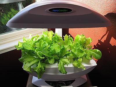 lettuce-4-weeks